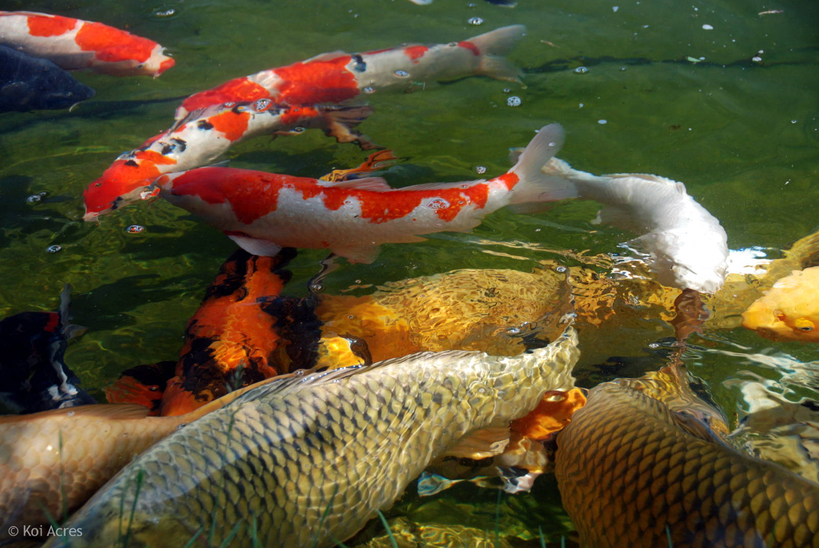 keeping koi fish On wild koi fish