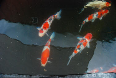 Koi care for Koi fish living conditions