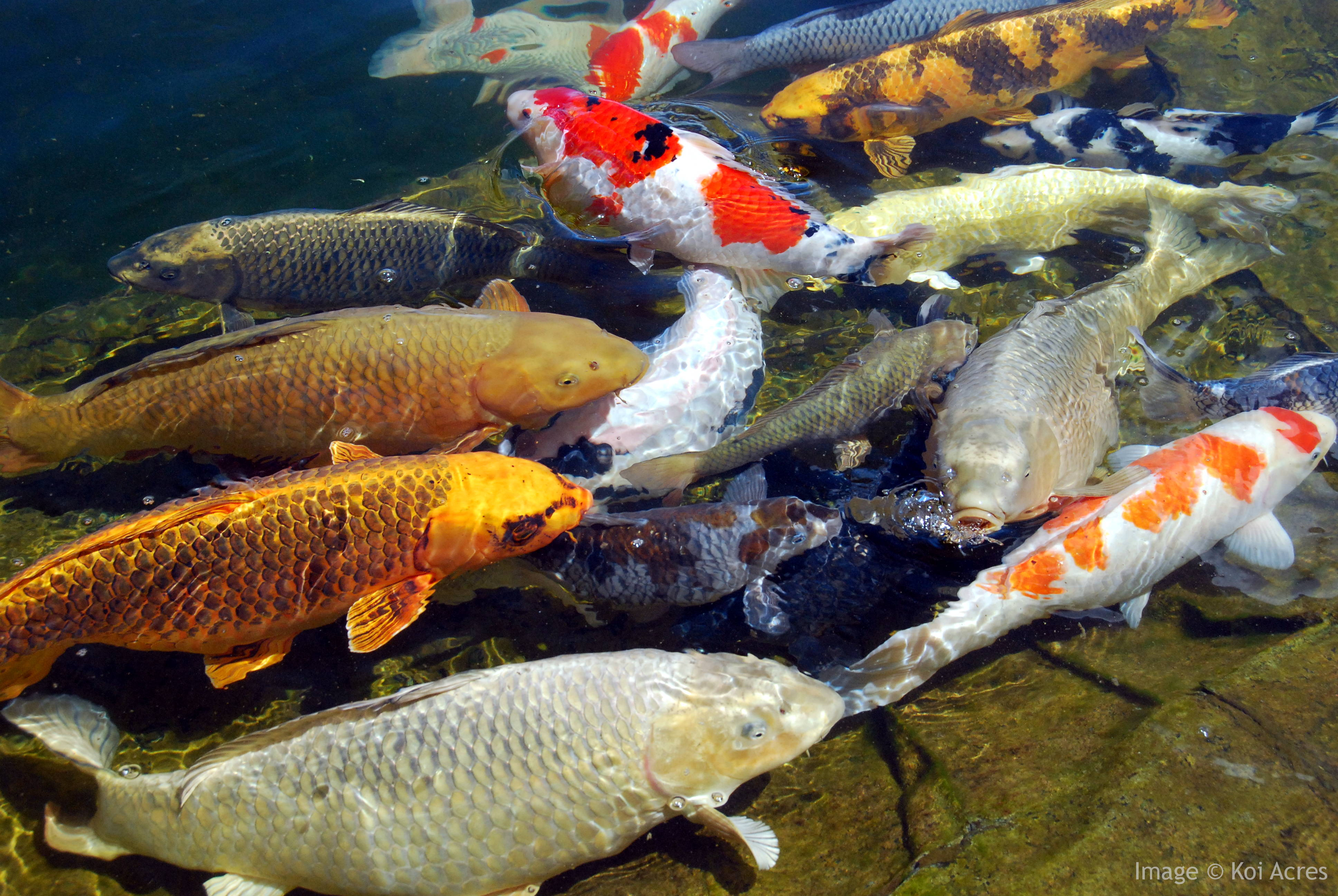 How koi pond filters work for Koi carp fish pond