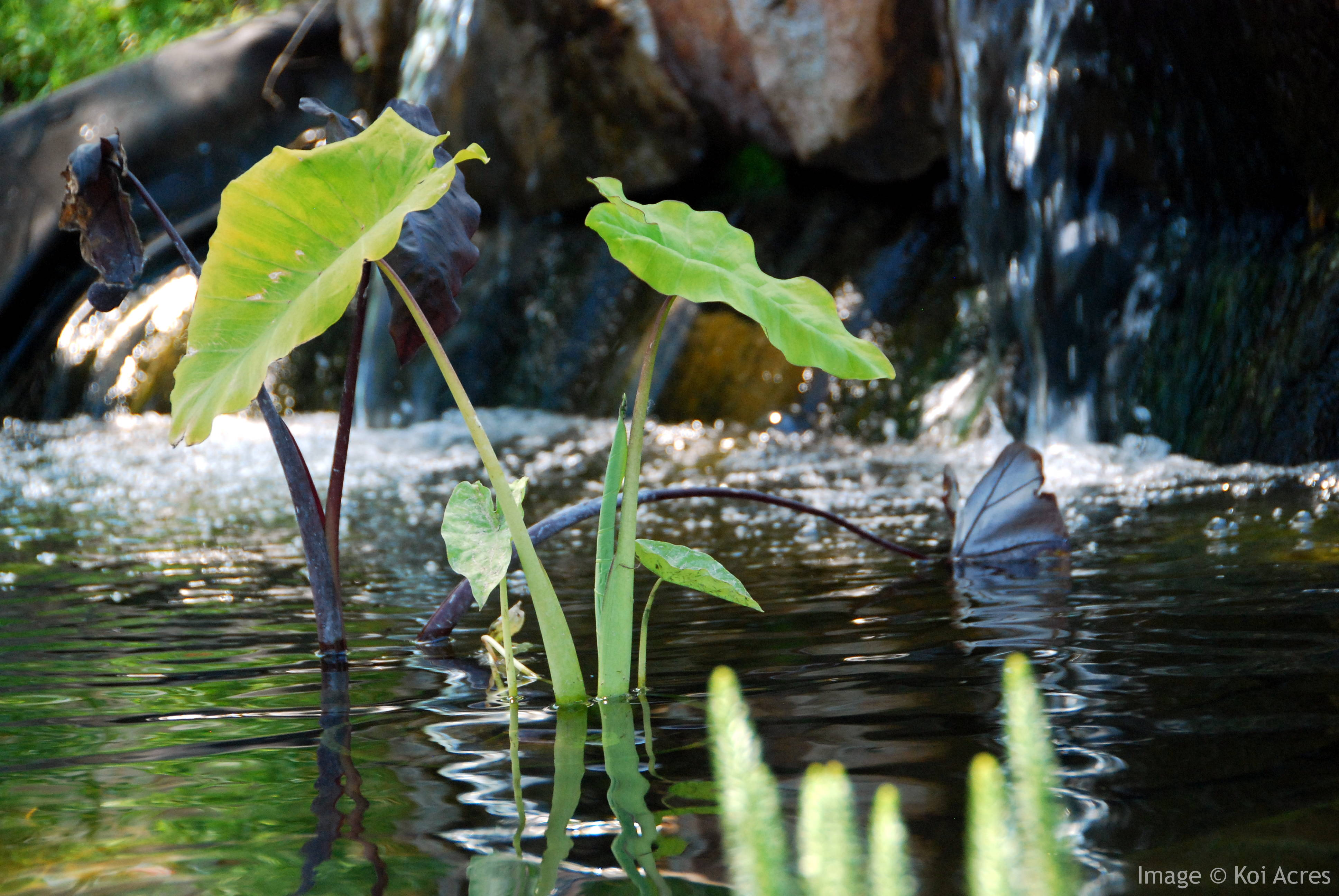 How koi pond filters work for Water filtering plants for ponds