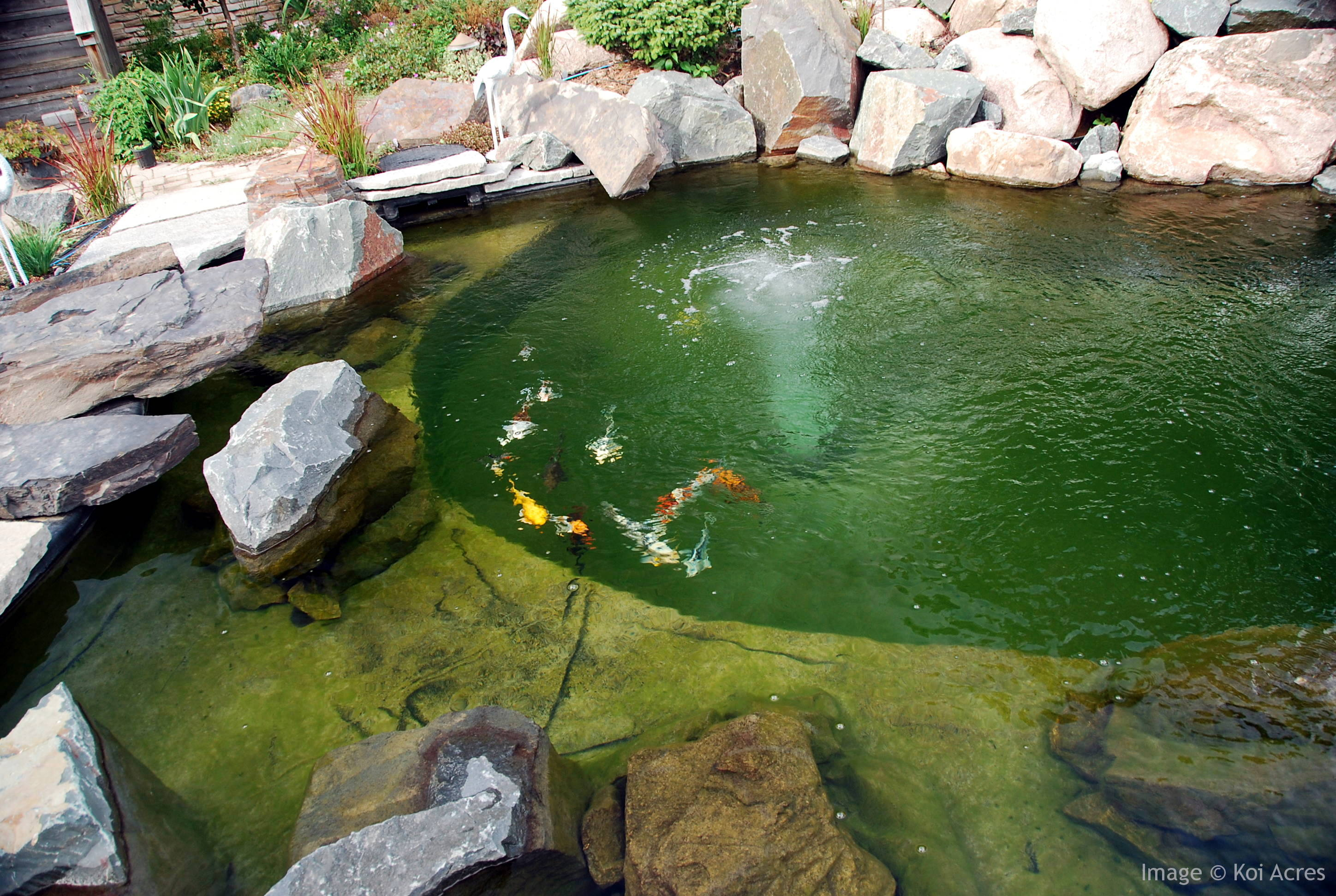 How koi pond filters work for How to make koi pond water clear