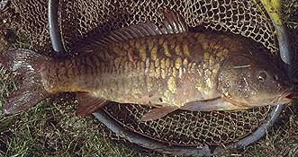 The common carp (Cyprinus Carpio) is a food staple in many countries.