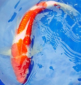 The Kohaku was one of the first varieties of Koi.