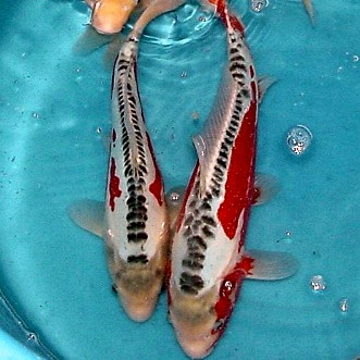 Scaless Koi, like these Shusuis, are descended from the carp imported from Germany.