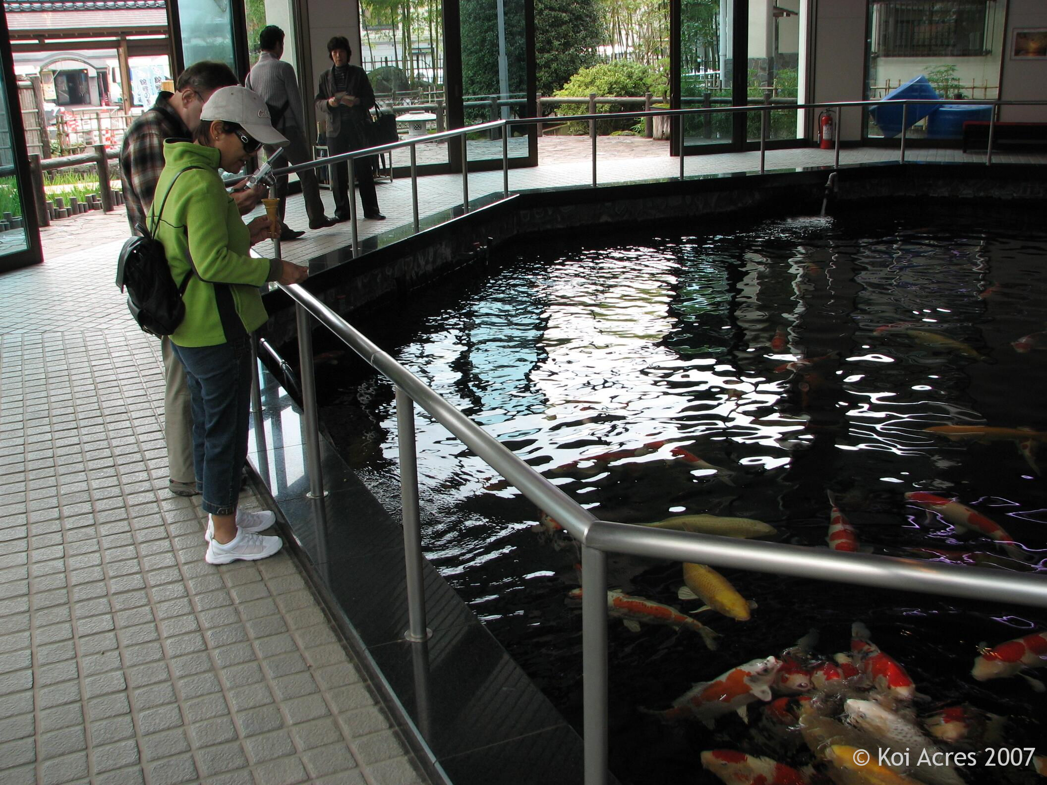 The gallery for indoor japanese koi pond for Indoor koi pond