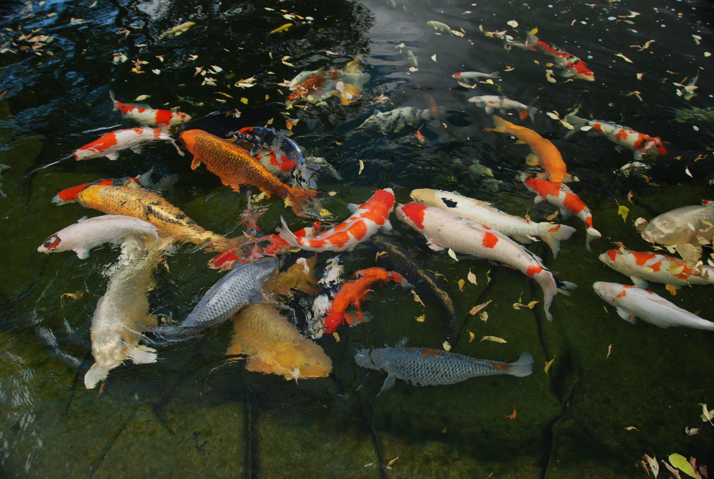 Koi acres imported japanese koi online shopping for koi for Koi pond pics