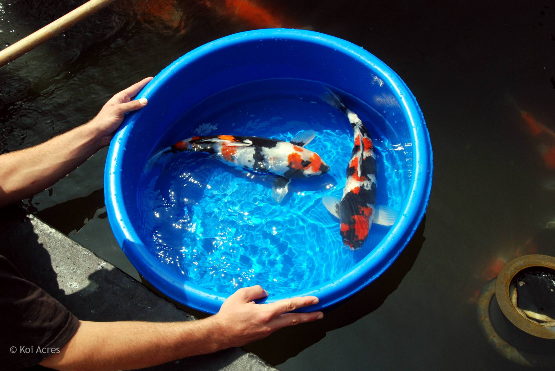 Koi bowl champion series for Koi carp tank