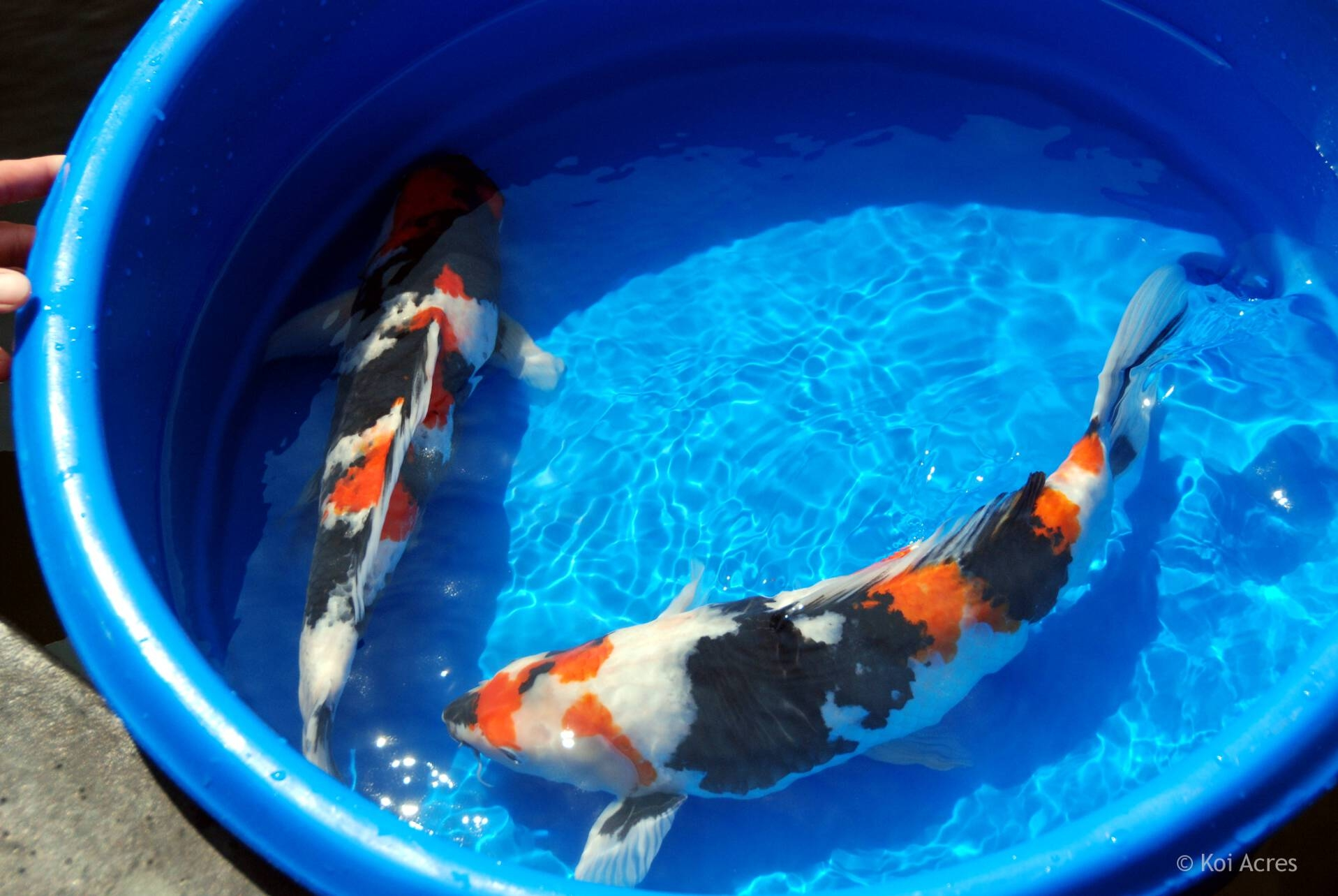 Koi bowl champion series for Koi fish living conditions